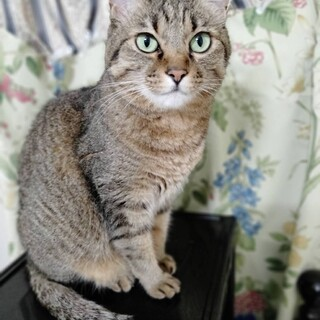 甘えん坊な美人猫さんです