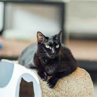 マシュマロボディの黒猫『ちょこら』