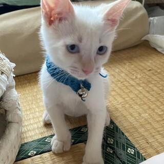 生後2ヶ月、ブルーアイ、シャム系女の子