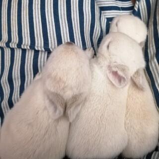 可愛い仔ウサギ3羽の里親様募集