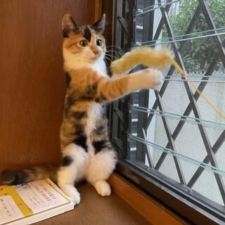 愛くるしい三毛子猫のドロシーちゃん