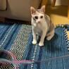 【ビータ】猫が大好きなお転婆三毛ちゃん サムネイル7