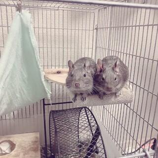 2歳3ヶ月のデグーマウス(2匹の兄弟)