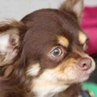 保護犬ナンバーD1465 チワワ