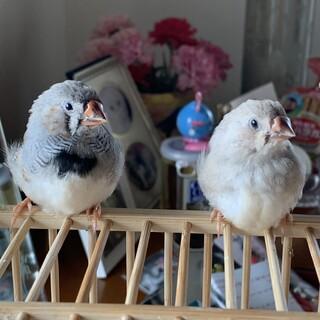 錦華鳥 ヒナ ペア