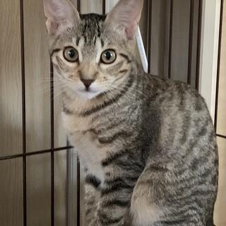 美人キジ猫の子猫さんです♪
