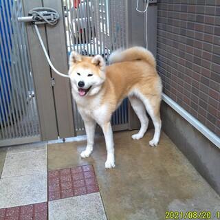 おとなしい性格の秋田犬 赤毛牝