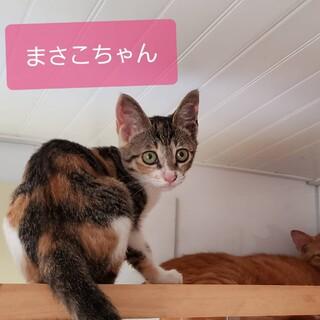 平戸市で保護した三毛子猫 マサコちゃん