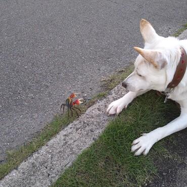 愛犬と宿敵のアカテガニ。