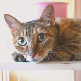 【白血病キャリア】5〜6歳♀穏やかな甘えん坊美猫
