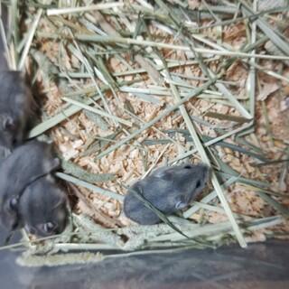 ジャンガリアンハムスターの赤ちゃん5匹