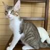 【アロン】抱っこ・ナデナデ好きのキジ白ハチワレ子猫 サムネイル3