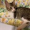 【アロン】抱っこ・ナデナデ好きのキジ白ハチワレ子猫 サムネイル5