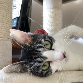 川崎より、おめめパッチリの美人猫
