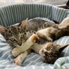【ロミロミ】慣れるとスリゴロ化するキジトラ子猫 サムネイル4