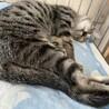 【ロミロミ】慣れるとスリゴロ化するキジトラ子猫 サムネイル5