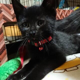 黒猫セイカ君里親さん募集