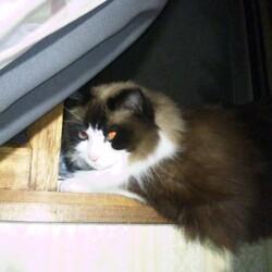 夜明けのシリウスと猫…
