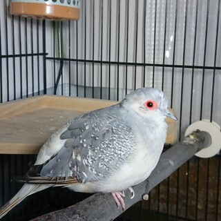 薄雪鳩の飼い主を募集しています。