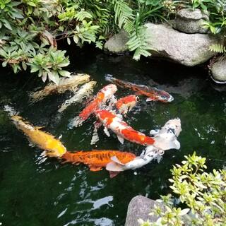 鯉をもらってください。