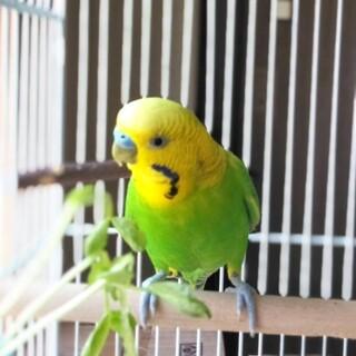 セキセイインコの黄緑(おうり)くん