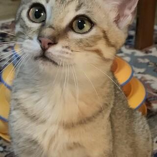 【きじ太郎】人馴れした元気っ子のキジトラ子猫