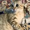 【きじ太郎】人馴れした元気っ子のキジトラ子猫 サムネイル2