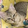 【きじ太郎】人馴れした元気っ子のキジトラ子猫 サムネイル3