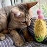 【きじ太郎】人馴れした元気っ子のキジトラ子猫 サムネイル6