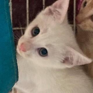 綺麗な顔立ちの白猫、雅ちゃん!