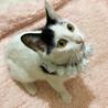 多頭向き♪甘えん坊おっとり子猫『ビスコ』3ヶ月半 サムネイル6