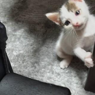 生後30日ほど/白多めキジ模様が可愛い仔猫さん