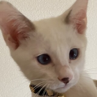 シャム系の美猫☆あずき君❣️