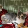 グレーの三毛美猫さんです