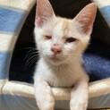 【アンテナ】右目失明でも甘え上手の白地茶トラ子猫