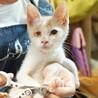 【アンテナ】右目失明でも甘え上手の白地茶トラ子猫 サムネイル2