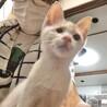 【アンテナ】右目失明でも甘え上手の白地茶トラ子猫 サムネイル3