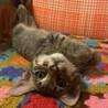 【みち】膝に乗りたい甘えん坊キジトラ子猫 サムネイル5