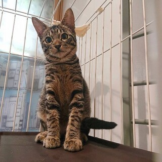 美形キジ猫の子猫さんです