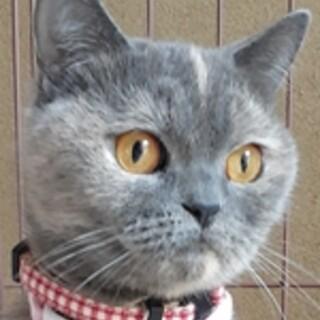 保護猫ナンバーC83 ブリティッシュショートヘア