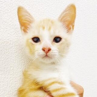 【虎柄?な茶白くん】2ヵ月の男の子