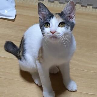 とっても可愛い パステル三毛の子猫さんです
