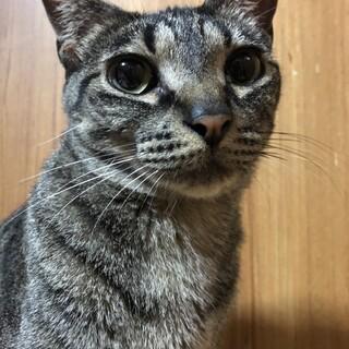 藤井寺ほご猫お見合い会参加福沢さん♀キジ