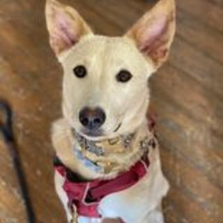 人懐っこい姉妹犬 8カ月のミルクちゃん♀