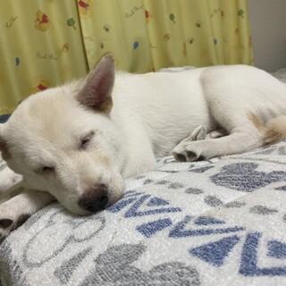 紀州犬mix♂️(生後2ヶ月)
