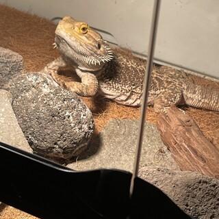 フトアゴヒゲトカゲです。
