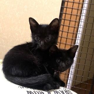 黒猫3兄妹甘えん坊のキョウちゃん