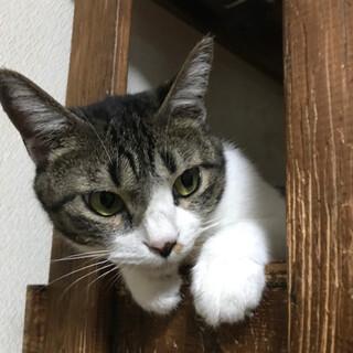 カワウソ顔の猫 モッチー