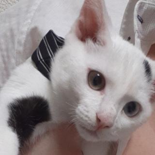 オッドアイの黒ぶちの白猫ちゃん!