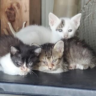 雑種の子猫ちゃん3匹の里親募集してます。